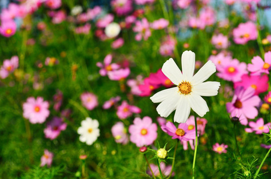 Cosmos sulphureus is also known as Sulfur Cosmos and Yellow Cosm
