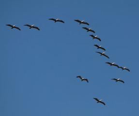 Pelicans Costa rica
