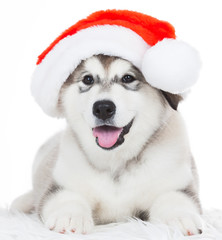 Animals. One puppy Husky white isolated, Christmas hat!