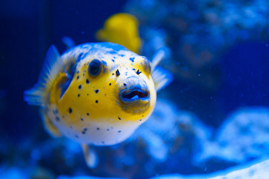 Fugue yellow fish predator of the Red Sea