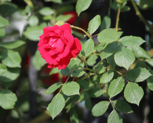 beautiful red rose in nature