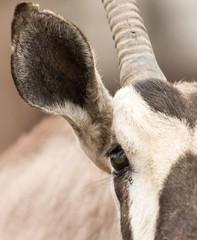 Eye antelope in nature. portrait
