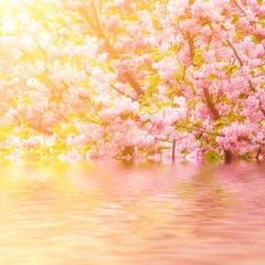 Fresh pink flowers of sakura growing in the garden, natural spring outdoor background with water reflection