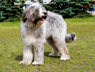 Briard left side. The Briard of the gray color is in the park.