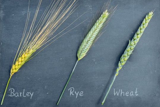 Barley (Hordeum vulgare) Rye (Secale cereale) and Wheat (Triticum aestivum) three types of cereal on a slate