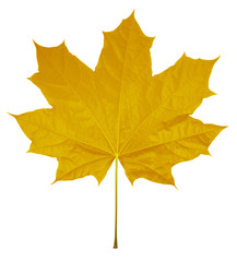 Maple Leaf isolated - Yellow