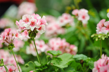 pink and white geranium