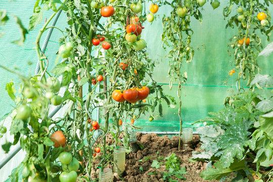 culture de tomates bio dans une serre