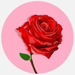 red roses are very beautiful