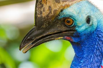 Closeup portrait of southern cassowary