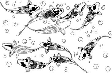 fancy carp fish swimming