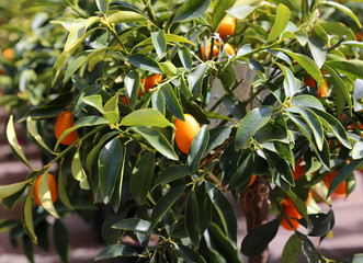several hanging fruit tree Orchard kumquats in summer