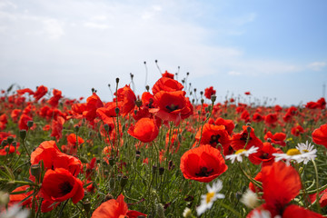 Fototapete - Meadow with beautiful bright red poppy flowers in spring