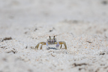 Atlantic Ghost Crab, Playalinda Beach, Merritt Island, Florida