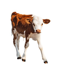 Front view of brown calf isolated on white background.