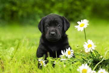 puppy dog Labrador sitting outdoors in summer