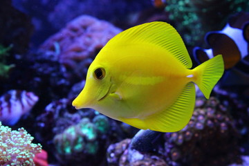 Zebrazoma Yellow tang