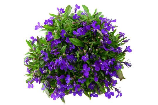 flowerpot of blue Lobelia flower on isolated white background