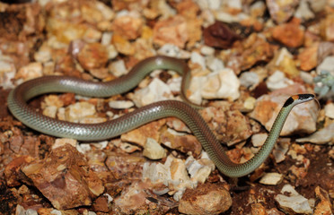 Furina ornata is a species of snakes of the family Elapidae. This species is endemic to Australia. It occurs in Western Australia, South Australia, the Northern Territory and Queensland.