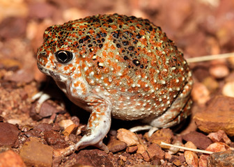 Notaden is a genus of amphibians of the family Limnodynastidae.