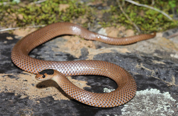 Parasuta flagellum is a species of snakes of the family Elapidae.