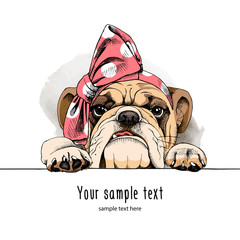 Bulldog portrait in a headband. Vector illustration.