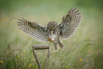 Little owl landing upon a spade handle