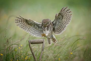 Little owl landing upon a spade handle