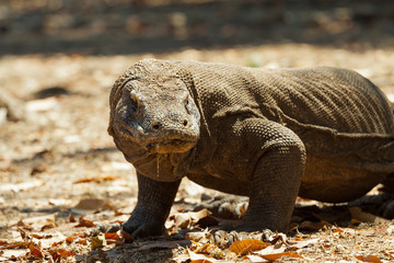 Komodo dragon biggest lizard at National Park. Indonesia.