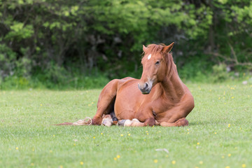Horse resting on field in summer