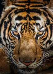 Tigers, wildlife, feral, face.