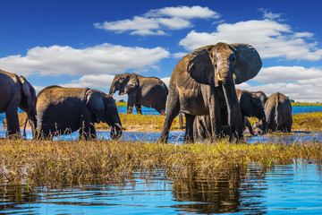 Herd of elephants come to drink
