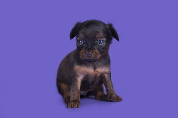 Little Puppy Russian toy terrier isolated on a colored backgroun