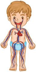 Blood system in boy body