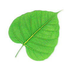 Green bodhi leaf isolated on white background