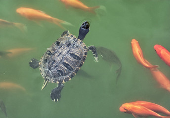 Red-eared slider - Trachemys scripta elegans and red fish
