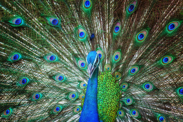 Peacock, feathers, colorful, wildlife.