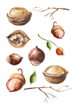 Watercolor set of nuts isolated on white background. Walnut, acorn, berries watercolor. Elements for design
