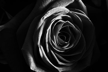 Black and white rose close up beautiful macro photo