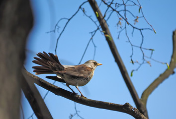Thrush Fieldfare on a tree in the forest