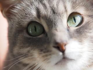 Portrait of a gray cat