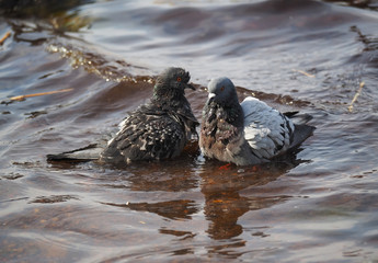 Pigeons bathe in lake