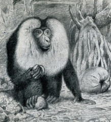 Lion-tailed macaque (Macaca silenus) from Brehm's Animal Life, 1927