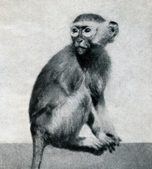 Green monkey (Chlorocebus sabaeus) from Brehm's Animal Life, 1927