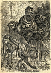 Crab-eating macaque (Macaca fascicularis) from Brehm's Animal Life, 1927