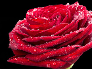 red rose with drops of dew, on black background