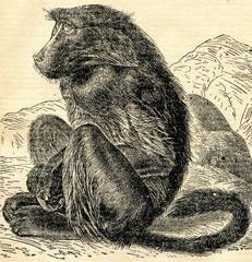 Chacma baboon (Papio ursinus) from Brehm's Animal Life, 1927