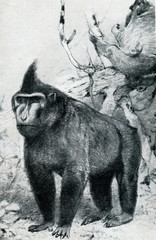 Celebes crested macaque (Macaca nigra) from Brehm's Animal Life, 1927