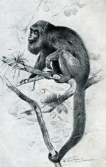 Brown howler (Alouatta guariba) from Brehm's Animal Life, 1927