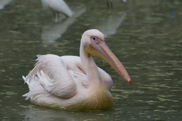 Pelican on water